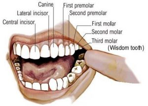 how to locate molars